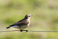 Northern wheatear / Oenanthe oenanthe Royalty Free Stock Photo