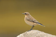 Northern Wheatear (oenanthe oenanthe). Northern Wheatear resting in its natural habitat Royalty Free Stock Photography