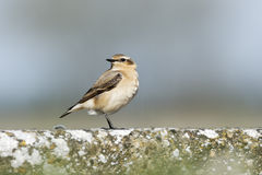 Northern wheatear, Oenanthe oenanthe Stock Photo