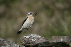 Northern wheatear, Oenanthe oenanthe Royalty Free Stock Image