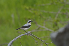 Northern wheatear, Oenanthe oenanthe Stock Image