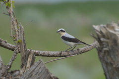 Northern wheatear, Oenanthe oenanthe, Royalty Free Stock Photography