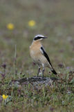 Northern wheatear, Oenanthe oenanthe Royalty Free Stock Images