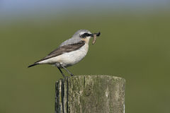 Northern wheatear, Oenanthe oenanthe Stock Photos
