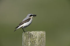 Northern wheatear, Oenanthe oenanthe. Single male on post, Wales Stock Photography
