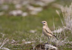 Northern Wheatear. A northern wheatear is perching on a piece of rock Stock Image