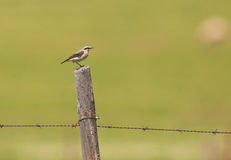 A Northern Wheatear sitting on a post Royalty Free Stock Photography