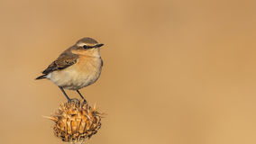 Northern Wheatear on Thistle Royalty Free Stock Images