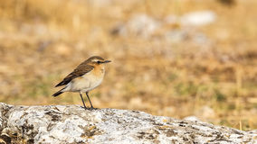 Northern Wheatear on Thistle Stock Image