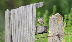 Northern Wheatear sits on the wooden garden fence in panoramic view royalty free stock photography