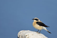 Northern Wheatear. A northern wheater is looking around on a piece of rock Royalty Free Stock Photos