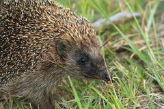 Northern white breasted hedgehog Stock Photo
