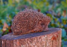 Northern White-breasted Hedgehog posing on a flat stump royalty free stock photos