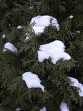 Northern White Cedar and Snow. Little clumps of snow pile up on the needles of a Northern White Cedar (Thuja occidentalis) tree Stock Images
