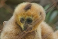 Northern white-cheeked gibbon in a cage. stock images