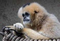 Northern white-cheeked gibbon 1 Stock Photos