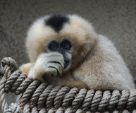 Northern white-cheeked gibbon 2 Stock Photography