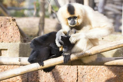 Northern white-cheeked gibbon (Nomascus leucogenys) cuddlin. Mother with baby Northern white-cheeked gibbon (Nomascus leucogenys) cuddlin Stock Image