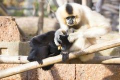 Northern white-cheeked gibbon (Nomascus leucogenys) cuddlin Stock Image