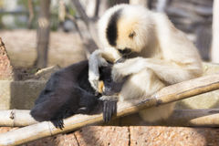 Northern white-cheeked gibbon (Nomascus leucogenys) cuddlin. Mother with baby Northern white-cheeked gibbon (Nomascus leucogenys) cuddlin Royalty Free Stock Photos