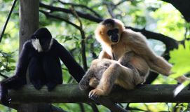 Northern white-cheeked gibbon, Nomascus leucogenys. Northern white cheeked gibbon sitting in tree Royalty Free Stock Photography