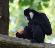 Northern white-cheeked gibbon, Nomascus leucogenys. Northern white cheeked gibbon sitting in tree Stock Photos