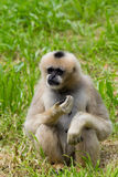 Northern White-cheeked Gibbon Portrait Royalty Free Stock Photo