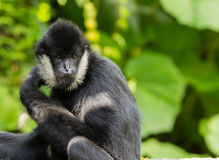 Northern white-cheeked gibbon  portrait. A portrait of a Northern white-cheeked gibbon (Nomascus leucogenys Stock Photography