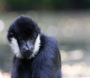 Northern white-cheeked gibbon  portrait. A portrait of a Northern white-cheeked gibbon (Nomascus leucogenys Stock Image