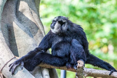 Northern white cheeked gibbon. A Northern white cheeked gibbon sit on a branch of a tree Royalty Free Stock Image
