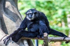 Northern white cheeked gibbon. A Northern white cheeked gibbon sit on a branch of a tree Stock Image