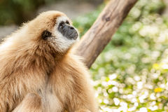 Northern white cheeked gibbon. A Northern white cheeked gibbon sit on a branch of a tree Royalty Free Stock Photography