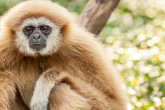 Northern white cheeked gibbon. A Northern white cheeked gibbon sit on a branch of a tree Stock Photos