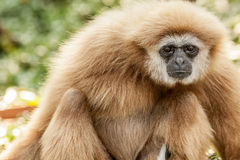 Northern white cheeked gibbon. A Northern white cheeked gibbon sit on a branch of a tree Royalty Free Stock Photo