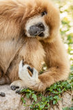 Northern white cheeked gibbon. A Northern white cheeked gibbon sit on a branch of a tree Royalty Free Stock Images