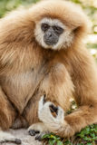 Northern white cheeked gibbon. A Northern white cheeked gibbon sit on a branch of a tree Stock Photo