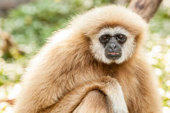 Northern white cheeked gibbon Stock Photo