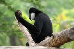 Northern white cheeked gibbon. A Northern white cheeked gibbon sit on a branch of a tree Royalty Free Stock Photos