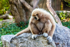 Northern white cheeked gibbon. A Northern white cheeked gibbon sit on a rock Stock Image