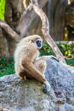 Northern white cheeked gibbon. A Northern white cheeked gibbon sit on a rock Stock Images