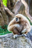 Northern white cheeked gibbon. A Northern white cheeked gibbon sit on a rock and sticking out his tongue Stock Photography