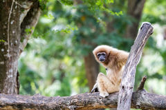 Northern white cheeked gibbon. An Northern white cheeked gibbon sit on a tree Royalty Free Stock Photo