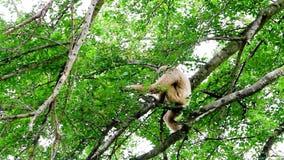 Northern white cheeked gibbon stock video
