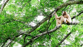 Northern white cheeked gibbon stock video footage