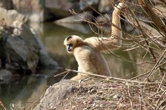 Northern white-cheeked gibbon royalty free stock image