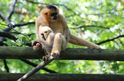 Northern white-cheeked gibbon, Nomascus leucogenys. Northern white cheeked gibbon sitting in tree Royalty Free Stock Images