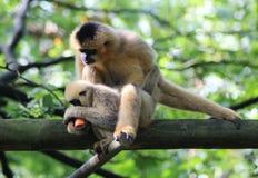 Northern white-cheeked gibbon, Nomascus leucogenys. Northern white cheeked gibbon sitting in tree Royalty Free Stock Photos