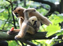 Northern white-cheeked gibbon, Nomascus leucogenys. Northern white cheeked gibbon sitting in tree Stock Images