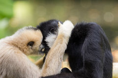 Northern white-cheeked gibbons  cuddling. Northern white-cheeked gibbon (Nomascus leucogenys) cuddling Royalty Free Stock Images