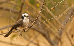 The Northern White-crowned Shrike Royalty Free Stock Photos